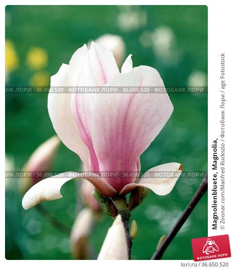Magnolienbluete, Magnolia, Стоковое фото, фотограф Zoonar.com/Manfred Ruckszio / age Fotostock / Фотобанк Лори