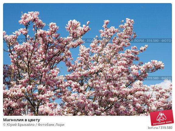 Купить «Магнолия в цвету», фото № 319580, снято 26 апреля 2008 г. (c) Юрий Брыкайло / Фотобанк Лори