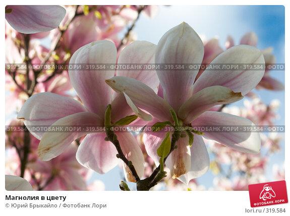 Магнолия в цвету, фото № 319584, снято 26 апреля 2008 г. (c) Юрий Брыкайло / Фотобанк Лори