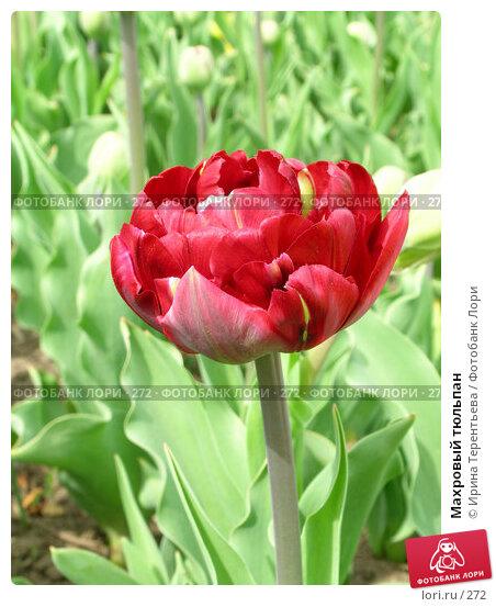 Махровый тюльпан, эксклюзивное фото № 272, снято 11 мая 2004 г. (c) Ирина Терентьева / Фотобанк Лори