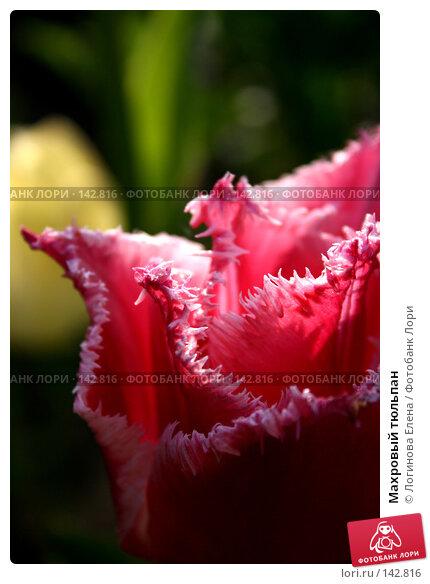 Купить «Махровый тюльпан», фото № 142816, снято 19 мая 2007 г. (c) Логинова Елена / Фотобанк Лори