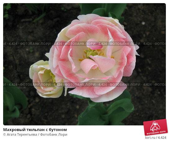 Махровый тюльпан с бутоном, фото № 4424, снято 21 мая 2006 г. (c) Агата Терентьева / Фотобанк Лори