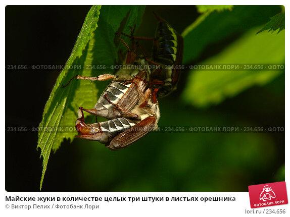 Майские жуки в количестве целых три штуки в листьях орешника, фото № 234656, снято 20 мая 2007 г. (c) Виктор Пелих / Фотобанк Лори