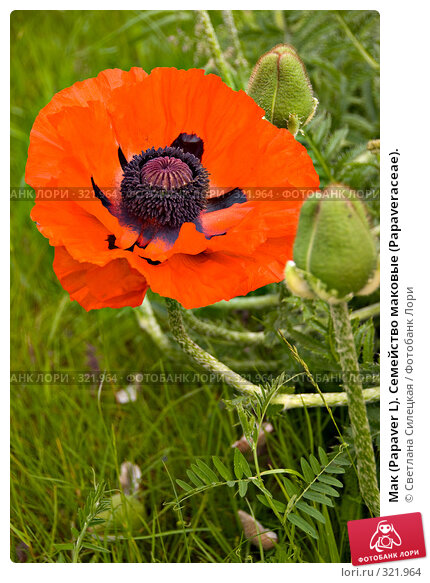 Мак (Papaver L). Семейство маковые (Раpaveraceae)., фото № 321964, снято 15 июня 2008 г. (c) Светлана Силецкая / Фотобанк Лори