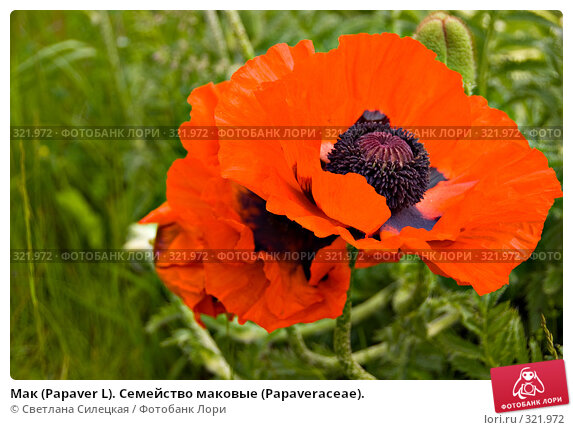 Мак (Papaver L). Семейство маковые (Раpaveraceae)., фото № 321972, снято 15 июня 2008 г. (c) Светлана Силецкая / Фотобанк Лори
