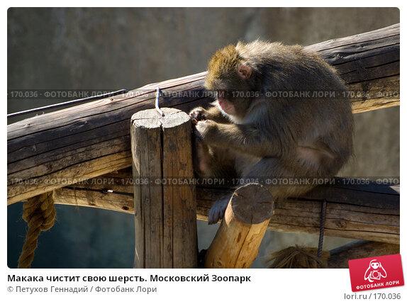Макака чистит свою шерсть. Московский Зоопарк, фото № 170036, снято 23 июня 2007 г. (c) Петухов Геннадий / Фотобанк Лори