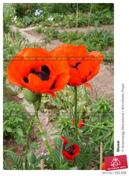Маки, фото № 292608, снято 18 июня 2006 г. (c) Александр Максимов / Фотобанк Лори