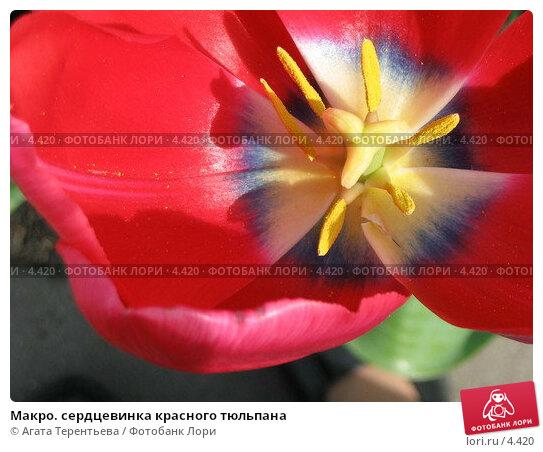 Макро. сердцевинка красного тюльпана, фото № 4420, снято 21 мая 2006 г. (c) Агата Терентьева / Фотобанк Лори
