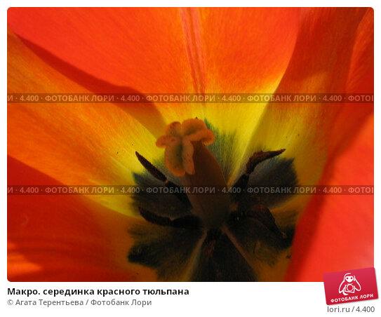 Макро. серединка красного тюльпана, фото № 4400, снято 21 мая 2006 г. (c) Агата Терентьева / Фотобанк Лори