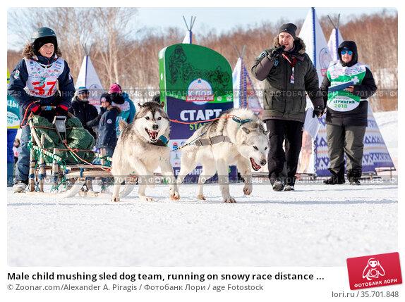 Male child mushing sled dog team, running on snowy race distance ... Стоковое фото, фотограф Zoonar.com/Alexander A. Piragis / age Fotostock / Фотобанк Лори
