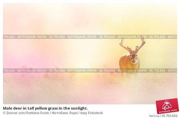 Male deer in tall yellow grass in the sunlight. Стоковое фото, фотограф Zoonar.com/Svetlana Foote / easy Fotostock / Фотобанк Лори