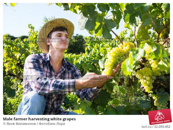 Male farmer harvesting white grapes. Стоковое фото, фотограф Яков Филимонов / Фотобанк Лори
