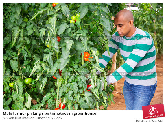 Male farmer picking ripe tomatoes in greenhouse. Стоковое фото, фотограф Яков Филимонов / Фотобанк Лори