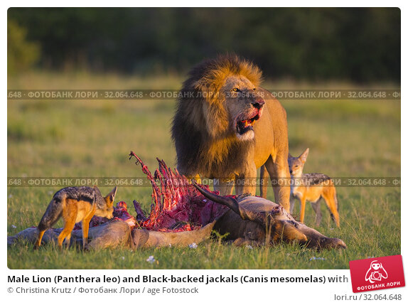Male Lion (Panthera leo) and Black-backed jackals (Canis mesomelas) with skeleton, eland kill, Masai Mara National Reserve, Kenya. Стоковое фото, фотограф Christina Krutz / age Fotostock / Фотобанк Лори