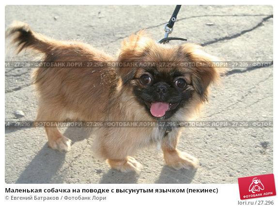 Купить «Маленькая собачка на поводке с высунутым язычком (пекинес)», фото № 27296, снято 22 мая 2006 г. (c) Евгений Батраков / Фотобанк Лори