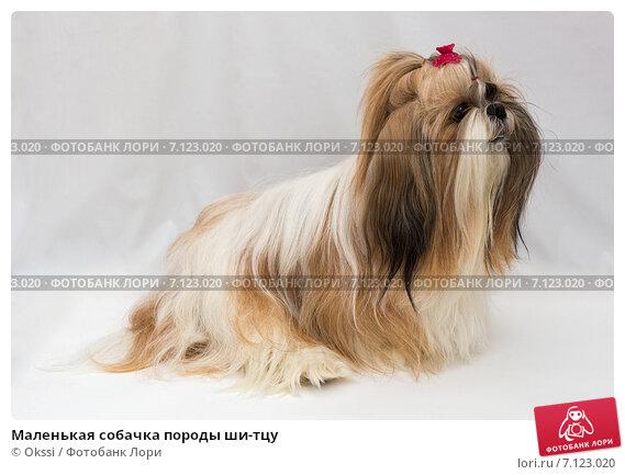 Купить «Маленькая собачка породы ши-тцу», фото № 7123020, снято 14 февраля 2015 г. (c) Okssi / Фотобанк Лори