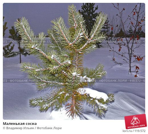 Маленькая сосна, фото № 119572, снято 18 ноября 2007 г. (c) Владимир Ильин / Фотобанк Лори