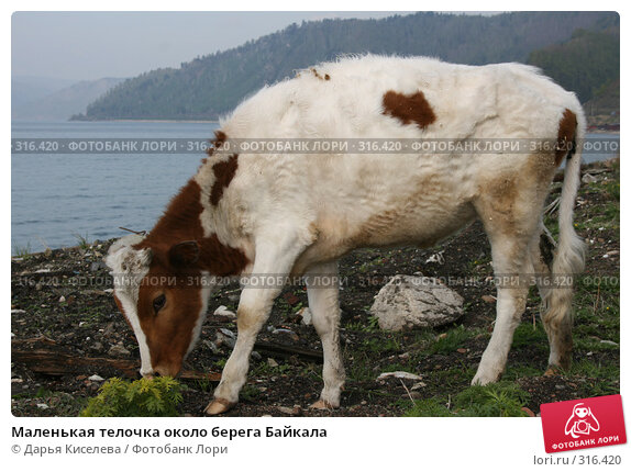 Маленькая телочка около берега Байкала, фото № 316420, снято 31 мая 2008 г. (c) Дарья Киселева / Фотобанк Лори