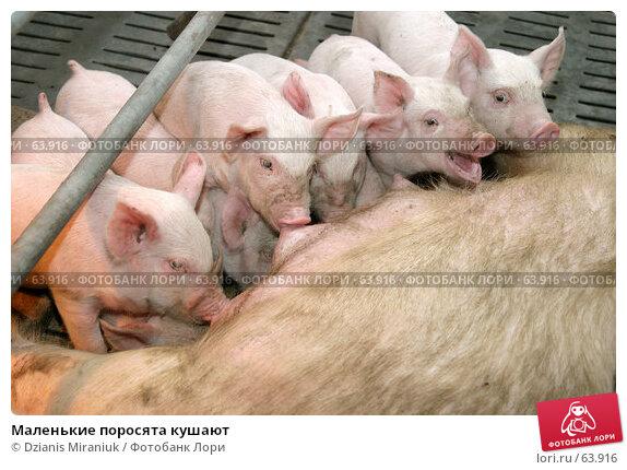 Маленькие поросята кушают, фото № 63916, снято 19 декабря 2006 г. (c) Dzianis Miraniuk / Фотобанк Лори