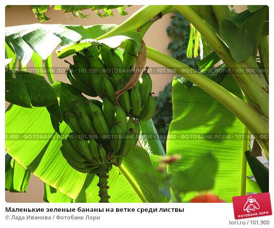Купить «Маленькие зеленые бананы на ветке среди листвы», фото № 101900, снято 11 октября 2007 г. (c) Лада Иванова / Фотобанк Лори