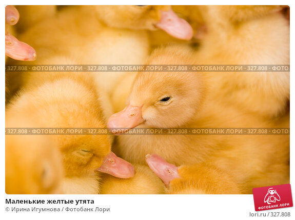 Маленькие желтые утята, фото № 327808, снято 27 мая 2008 г. (c) Ирина Игумнова / Фотобанк Лори