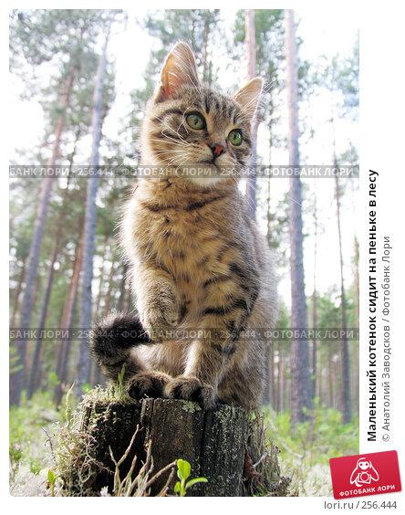 Маленький котенок сидит на пеньке в лесу, фото № 256444, снято 30 июля 2006 г. (c) Анатолий Заводсков / Фотобанк Лори