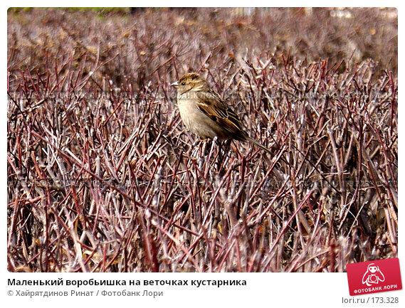 Маленький воробьишка на веточках кустарника, фото № 173328, снято 7 апреля 2007 г. (c) Хайрятдинов Ринат / Фотобанк Лори