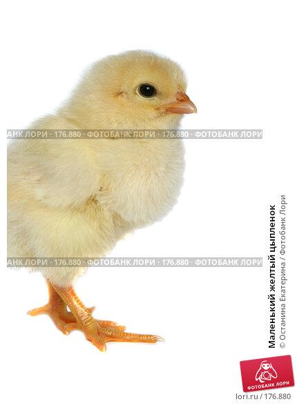 Маленький желтый цыпленок, фото № 176880, снято 23 мая 2007 г. (c) Останина Екатерина / Фотобанк Лори