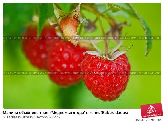 Купить «Малина обыкновенная, (Медвежья ягода) в тени. (Rubus idaeus)», фото № 1788184, снято 17 июля 2009 г. (c) Алёшина Оксана / Фотобанк Лори
