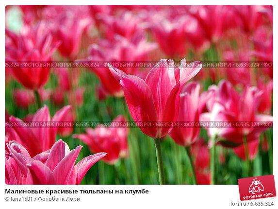 Малиновые красивые тюльпаны на клумбе. Стоковое фото, фотограф lana1501 / Фотобанк Лори