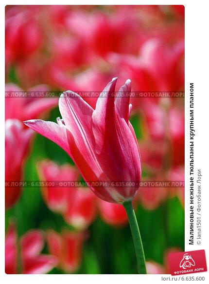 Малиновые нежные тюльпаны крупным планом. Стоковое фото, фотограф lana1501 / Фотобанк Лори