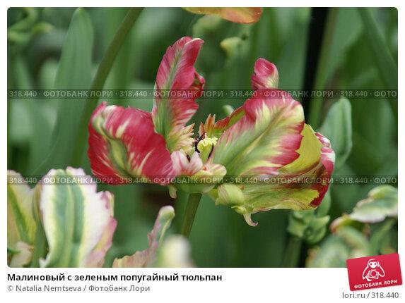 Малиновый с зеленым попугайный тюльпан, эксклюзивное фото № 318440, снято 8 апреля 2008 г. (c) Natalia Nemtseva / Фотобанк Лори