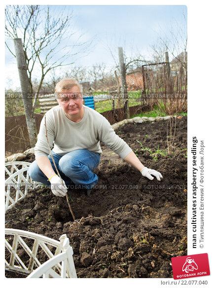 Купить «man cultivates raspberry seedlings», фото № 22077040, снято 5 марта 2016 г. (c) Типляшина Евгения / Фотобанк Лори