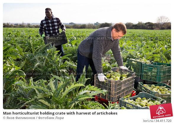 Man horticulturist holding crate with harvest of artichokes. Стоковое фото, фотограф Яков Филимонов / Фотобанк Лори