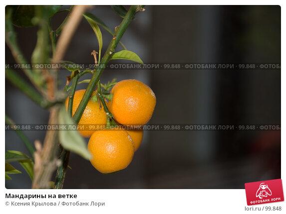 Мандарины на ветке, фото № 99848, снято 9 октября 2007 г. (c) Ксения Крылова / Фотобанк Лори