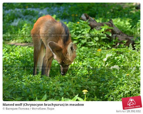 Купить «Maned wolf (Chrysocyon brachyurus) in meadow», фото № 28392032, снято 8 мая 2018 г. (c) Валерия Попова / Фотобанк Лори