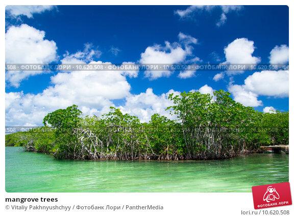 mangrove trees . Стоковое фото, фотограф Vitaliy Pakhnyushchyy / PantherMedia / Фотобанк Лори