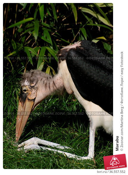 Marabu. Стоковое фото, фотограф Zoonar.com/Martina Berg / easy Fotostock / Фотобанк Лори