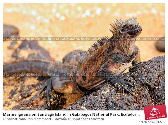 Marine iguana on Santiago Island in Galapagos National Park, Ecuador... Стоковое фото, фотограф Zoonar.com/Don Mammoser / age Fotostock / Фотобанк Лори