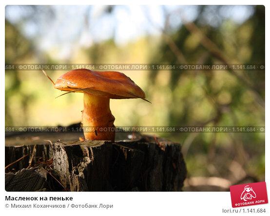 Белые грибы на пнях