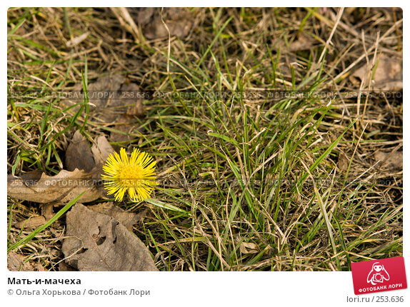 Купить «Мать-и-мачеха», фото № 253636, снято 2 апреля 2008 г. (c) Ольга Хорькова / Фотобанк Лори
