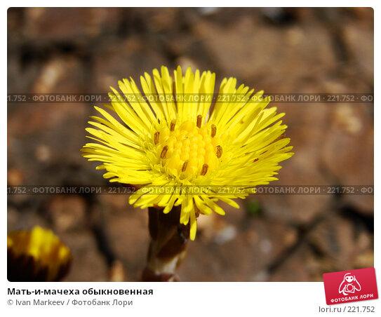 Купить «Мать-и-мачеха обыкновенная», фото № 221752, снято 20 апреля 2007 г. (c) Ivan Markeev / Фотобанк Лори