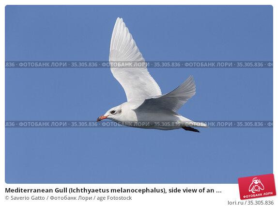 Mediterranean Gull (Ichthyaetus melanocephalus), side view of an ... Стоковое фото, фотограф Saverio Gatto / age Fotostock / Фотобанк Лори