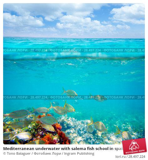 Купить «Mediterranean underwater with salema fish school in spain», фото № 28497224, снято 22 августа 2013 г. (c) Ingram Publishing / Фотобанк Лори
