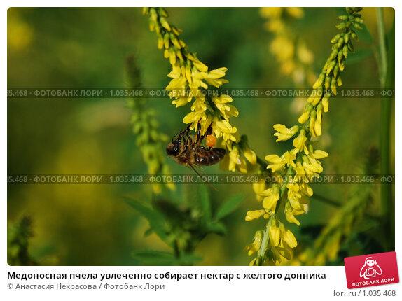 Купить «Медоносная пчела увлеченно собирает нектар с желтого донника», фото № 1035468, снято 3 июля 2009 г. (c) Анастасия Некрасова / Фотобанк Лори