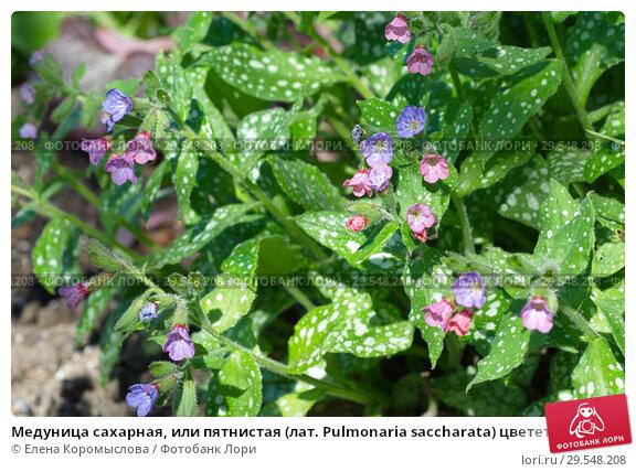 Купить «Медуница сахарная, или пятнистая (лат. Pulmonaria saccharata) цветет в саду весной», эксклюзивное фото № 29548208, снято 14 мая 2018 г. (c) Елена Коромыслова / Фотобанк Лори