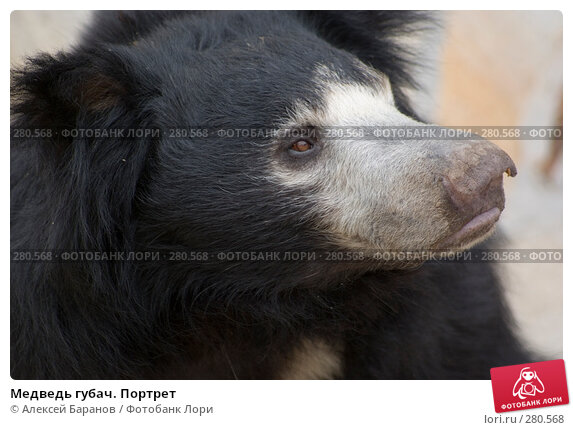 Медведь губач. Портрет, фото № 280568, снято 6 мая 2008 г. (c) Алексей Баранов / Фотобанк Лори