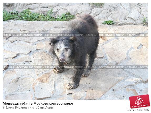 Медведь губач в Московском зоопарке, фото № 136096, снято 2 октября 2007 г. (c) Елена Блохина / Фотобанк Лори