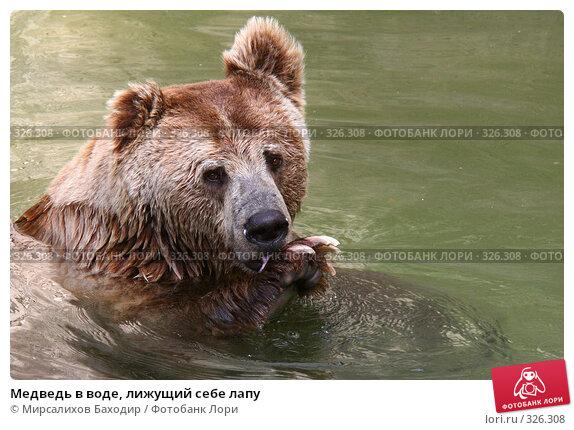Купить «Медведь в воде, лижущий себе лапу», фото № 326308, снято 15 июня 2008 г. (c) Мирсалихов Баходир / Фотобанк Лори