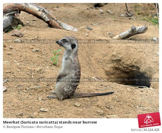 Meerkat (Suricata suricatta) stands near burrow. Стоковое фото, фотограф Валерия Попова / Фотобанк Лори